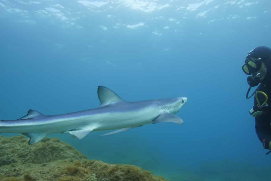 Tauchen mit Hai in Marazul